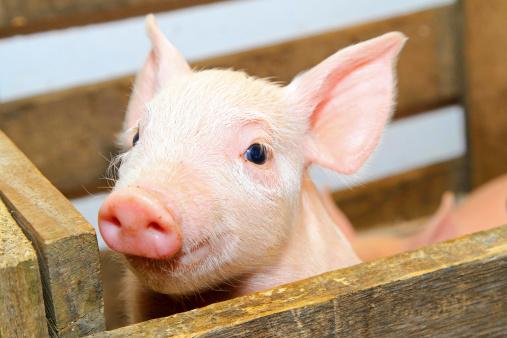 Carne di maiale? Si, con Omega3