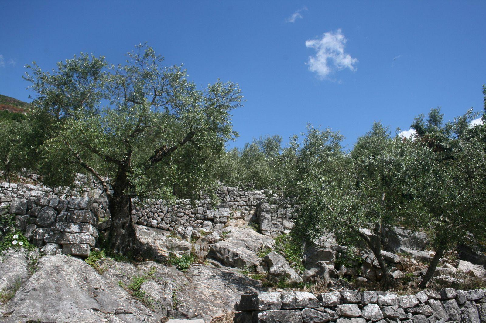 Gli oliveti di Vallecorsa nel Registro Nazionale dei Paesaggi Rurali
