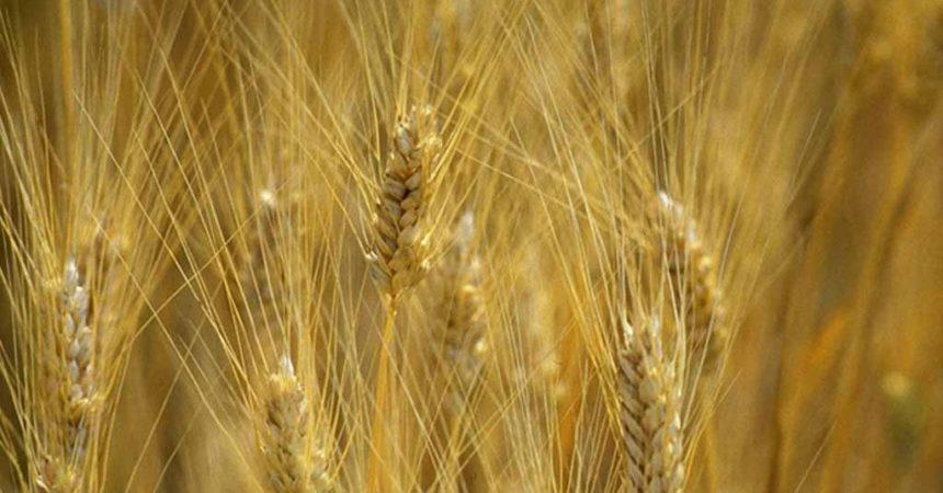 Oro della Maremma: alla riscoperta dei grani antichi