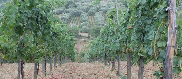 Enoregioni italiane: Cilento