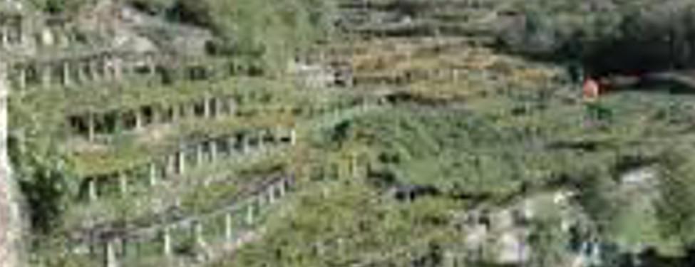 I terrazzamenti del Carema tra i nuovi Presidi Slow Food