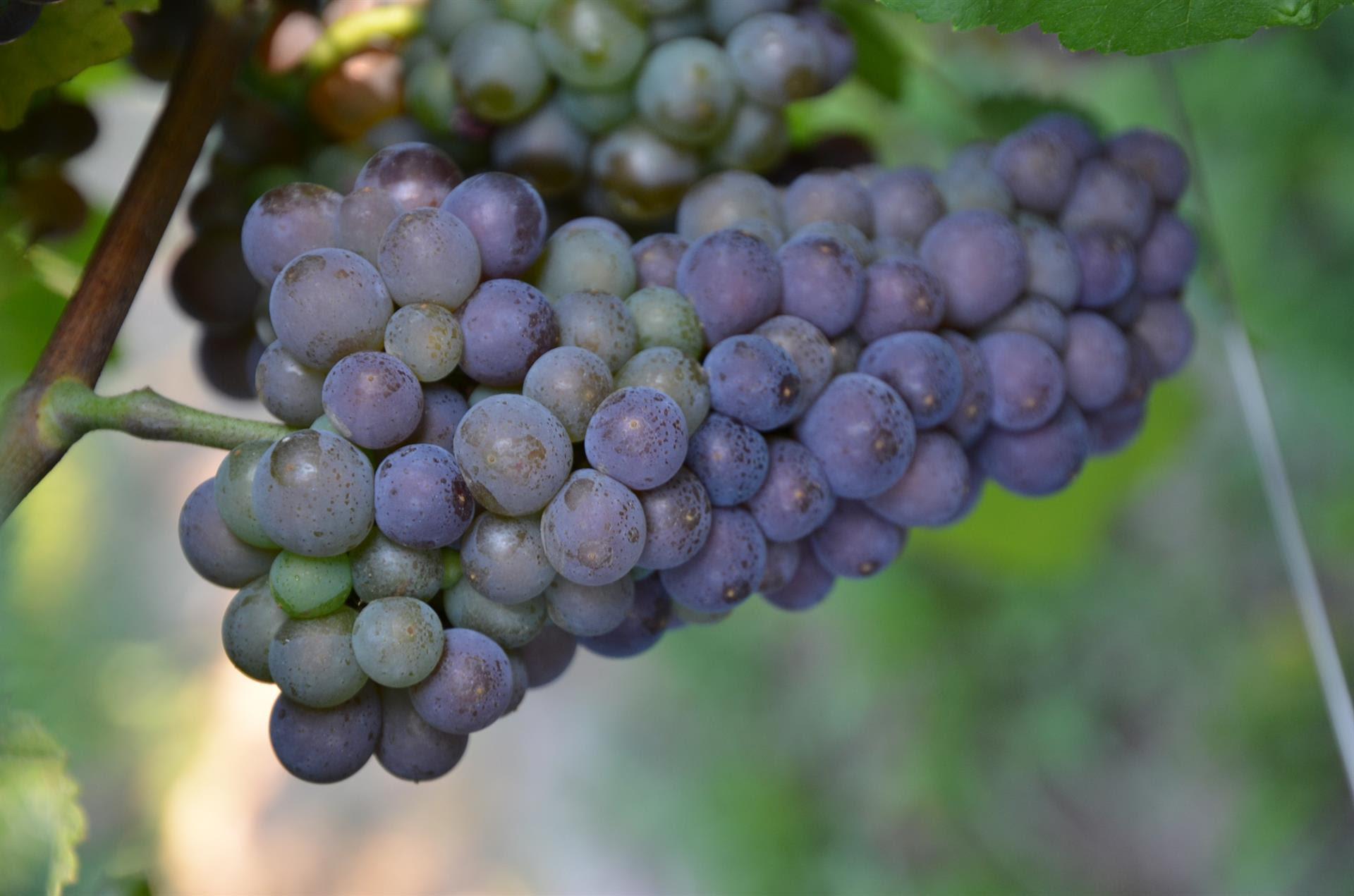 Conclusa la prima vendemmia integralmente DOC del Pinot grigio delle Venezie