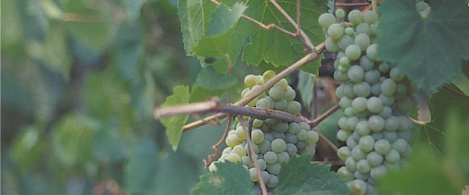 Il vino che nasce dalle pietre
