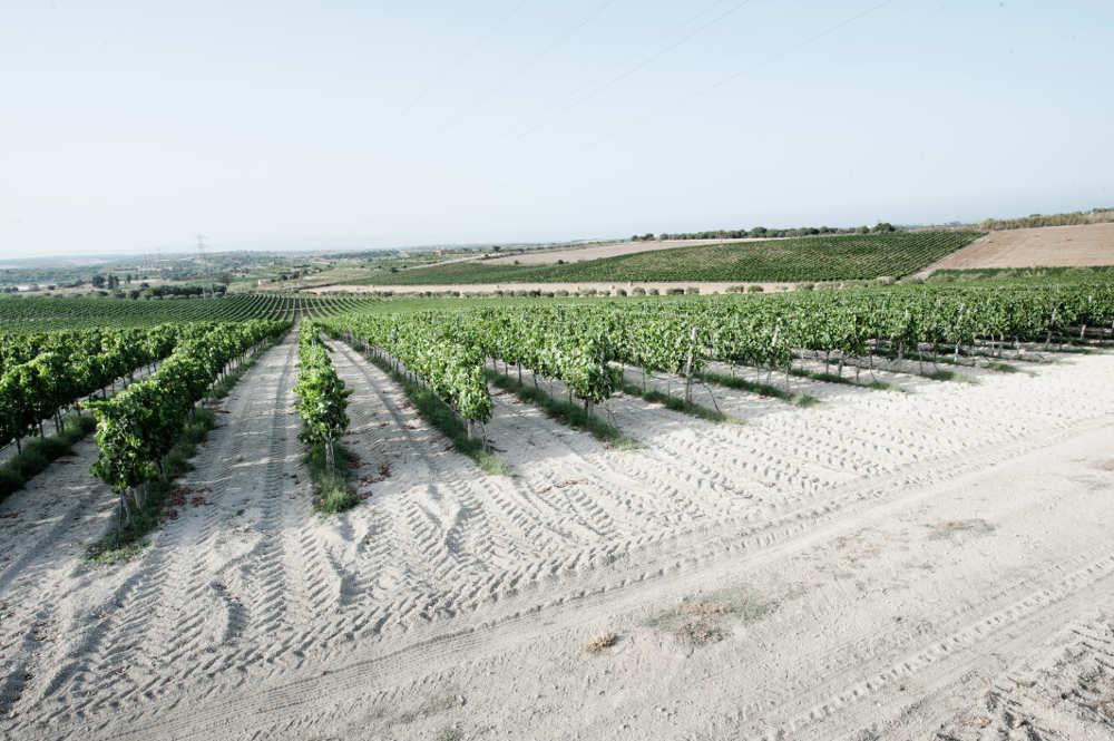 Solo uve di eccellenza nelle sapienti mani dei viticoltori