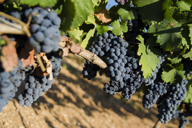 Consorzi di tutela pugliesi: No all'impianto e alla produzione del vitigno Primitivo in Sicilia