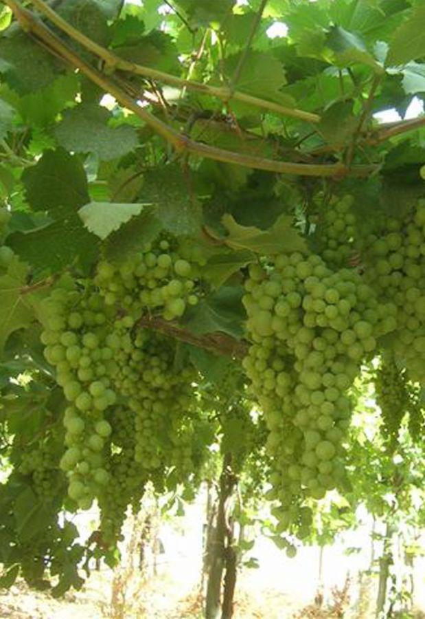Auguri al Friuli Colli Orientali