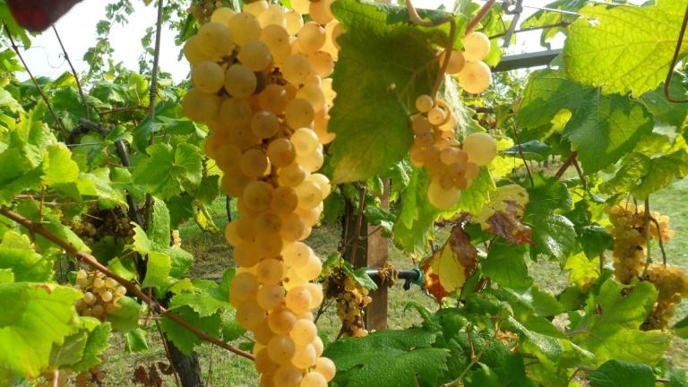 Albana Dèi, il vino del cuore 2015