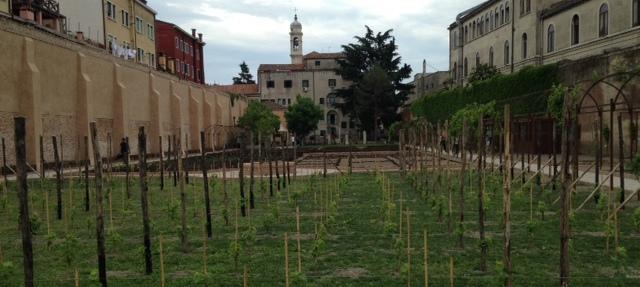 Archeo-enologia a Venezia: le antiche viti della Serenissima rivivono nel Brolo di Cannaregio
