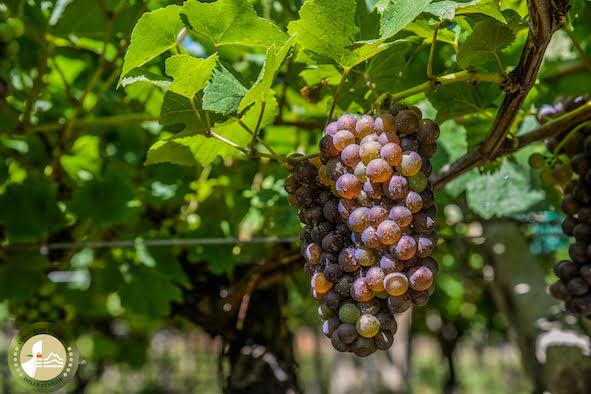 Ottima qualità del Pinot grigio, cresce il valore economico della DOC