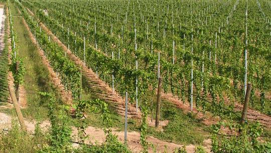 Testo Unico della vite e del vino: finalmente si parte