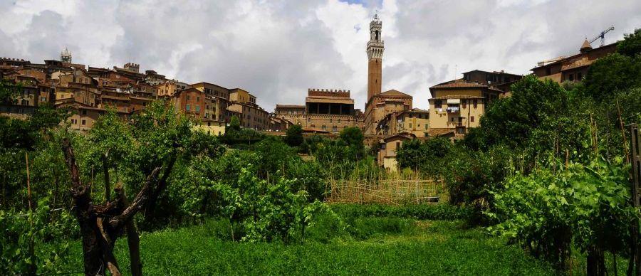 Senarum Vinea (Le Vigne di Siena). Presentazione del progetto di tutela e valorizzazione degli antichi vitigni di Siena