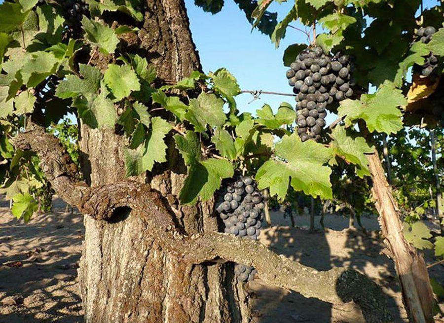 Il vino come atto agricolo responsabile