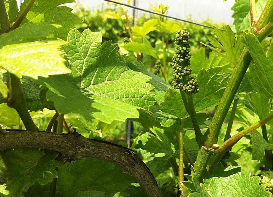Viticoltura convenzionale e biologica: migliorare fioritura e allegagione