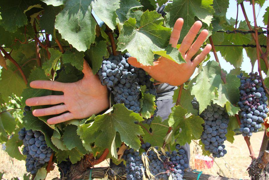 Le mani del vino. cantine aperte per la vendemmia