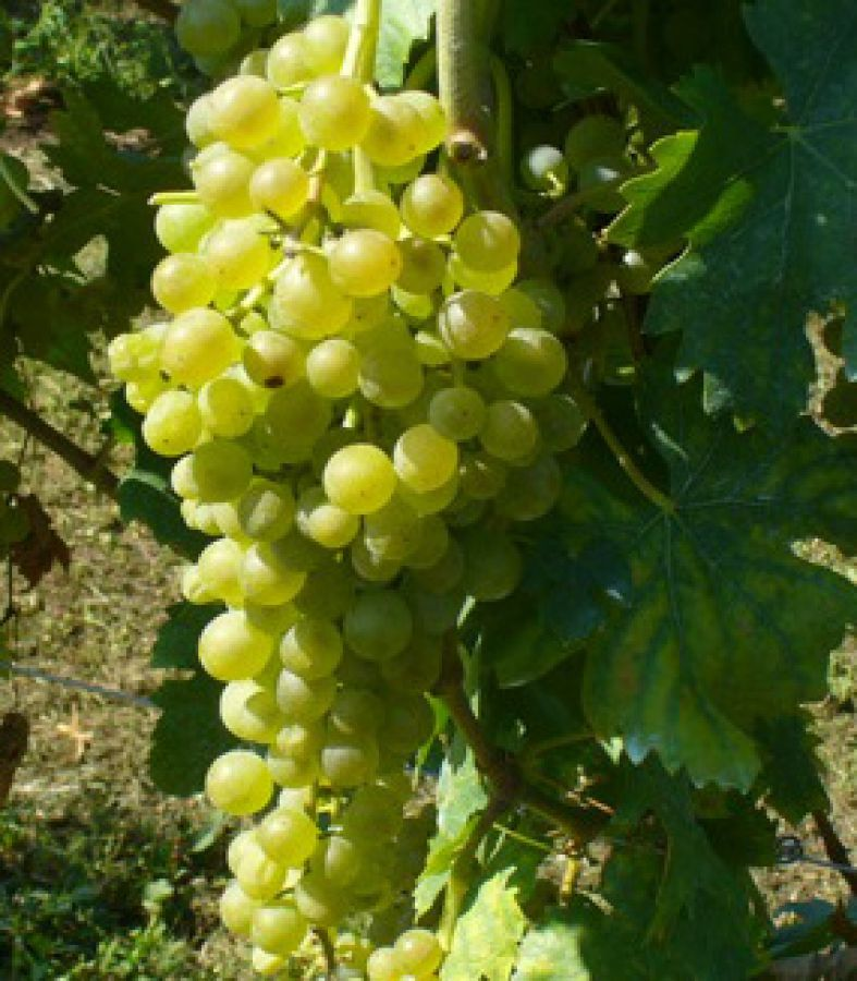 Enoregioni italiane: Isole siciliane