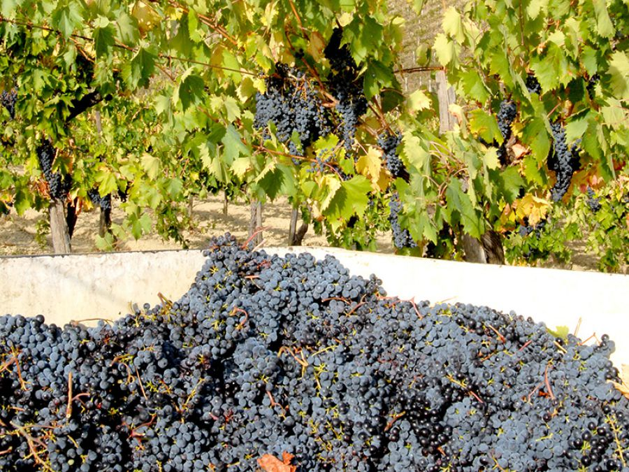 I vini piceni fanno squadra