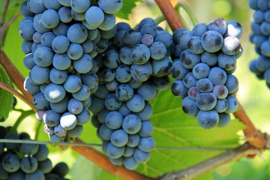 """""""In vino veritas"""": nuove tecniche enologiche"""