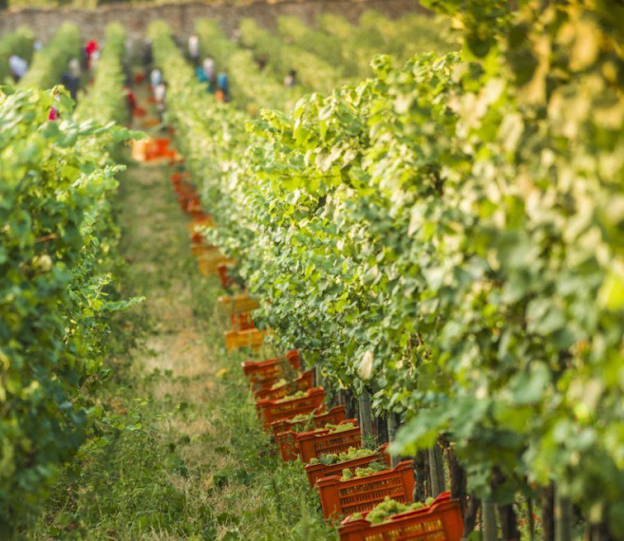 +15% uva per la vendemmia di quest'anno