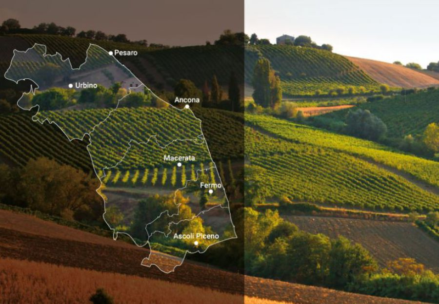 Verdicchio traina export marchigiano