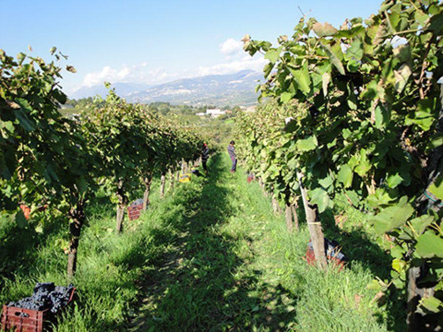 Le vigne all'ombra della Dormiente del Sannio