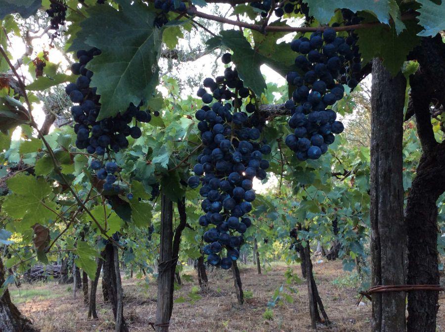 Grintoso e fruttato: ecco l'Aglianico 2017