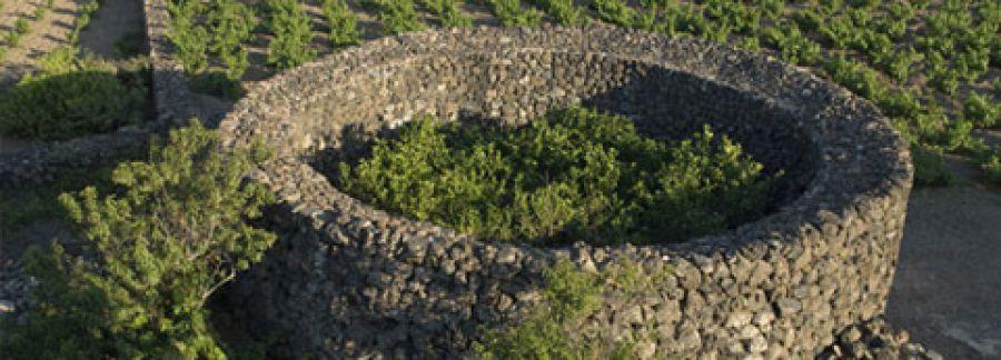 L'Alberello di Pantelleria è patrimonio dell'umanità tutelato dall'Unesco
