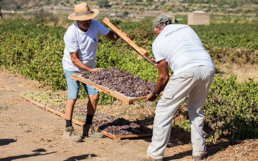La vendemmia al Pantelleria DOC Festival