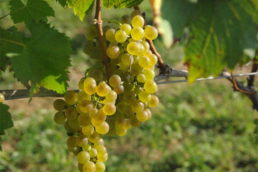 """Approvati dall'UE """"nuovi"""" vitigni in Piemonte"""