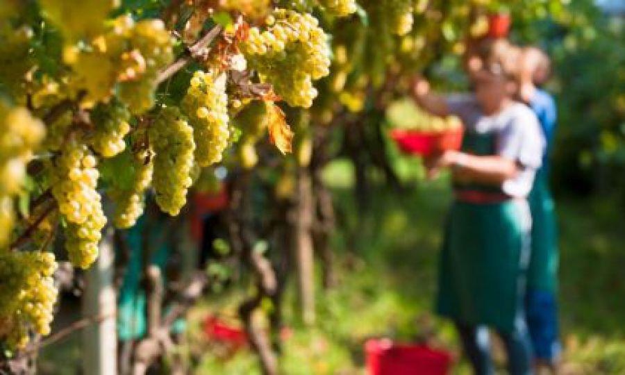 Dopo il Covid-19: il vino riparte dalla vendemmia