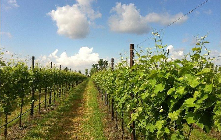 I consigli di CIFO: grappoli spargoli per uve sane e di elevata qualità
