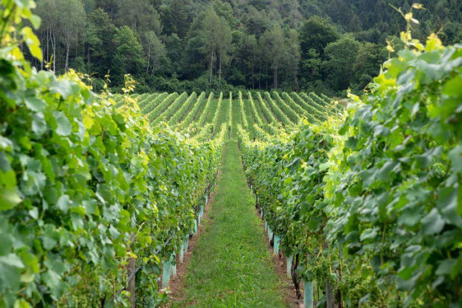 Viticoltura bio:+6% in Trentino