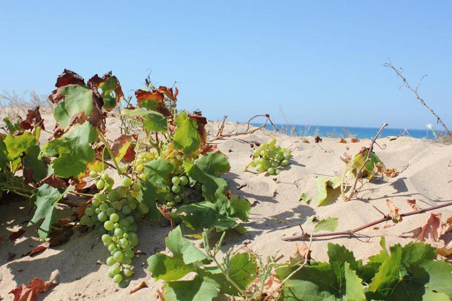 Viti dalla sabbia sulla spiaggia di Menfi