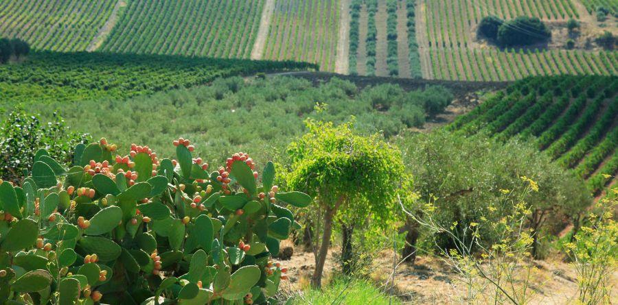 Settesoli: potatura non invasiva per tutelare la biodiversità nei vigneti