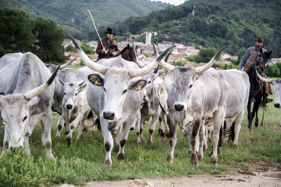 A Siena rivive l'antico rito della transumanza