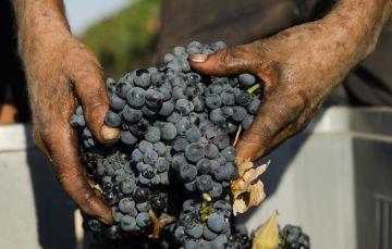 Primitivo di Manduria: buona qualità, quantità in calo e tenuta dei prezzi