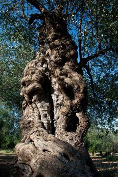Giovedì 26 novembre è la Giornata internazionale dell'Olivo
