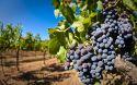 Nel Dna il futuro della viticoltura italiana?