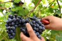 Vendemmia 2020. I dati definitivi